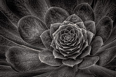 Succulence (FotoGrazio) Tags: composition amazing nature fotograzio photographicart internationalphotographer worldphotographer plant mothernature macro monochrome waynegrazio photography cactus art lovely fineart sandiegophotographer pattern californiaphotographer digitalphotography waynesgrazio contrast closeup floral 500px photographicartist artofphotography abstract botany flickr texture garden leaves botanicalart phototoart beautiful shadesofgrey desert botanical blackandwhite award fauna succulent surreal