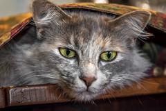 Under The Table Runner (helenehoffman) Tags: fluffy portrait kitty closeup domestic pet serious tortoiseshell feline furry dilutedtortoiseshell kitten cat animal