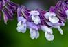 Purple and White on Green (vern Ri) Tags: nikon d750 fleur blumen flora purple white green