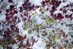 let it snow ... (mariola aga) Tags: autumn winter tree branches leaves red orange green snow firstsnow snowing white seasonchange nature closeup