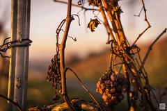 DSC01387 (SVNKNR) Tags: stuttgart deutschland germany weinberg vineyard herbst autumn sonnenuntergang sunset landschaft landscape stdtisch urban sony sonyalpha alpha6000 a6000