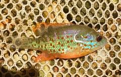 Anglų lietuvių žodynas. Žodis spotted sunfish reiškia pastebėtas sunfish lietuviškai.