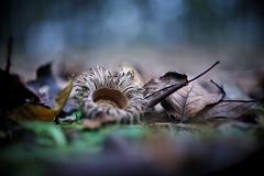 sawtooth oak (slowhand7530) Tags: nikon d800e carlzeiss makroplanart250zf makroplanar macroplanar makroplanart250 autumn