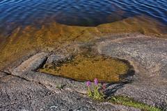 IMG_7949-1 (Andre56154) Tags: schweden sweden sverige wasser water see lake ufer felsen blume flower