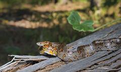 Corn Snake (cre8foru2009) Tags: pantherophisguttata cornsnake snake reptile herping georgia nature wildlife animal sigma nikon