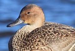 (careth@2012) Tags: nature duck wildlife beak feathers portrait bird