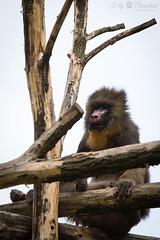 Mandrill (Cloudtail the Snow Leopard) Tags: mandrill zoo augsburg tier animal mammal sugetier affe monkey meerkatze mandrillus sphinx primat