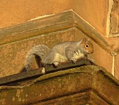 Hanging On (Bricheno) Tags: glasgow bricheno westend trinitycollege charleswilson poshflats lynedochstreet parkcircus church scotland escocia schottland cosse scozia esccia szkocja scoia    squirrel greysquirrel