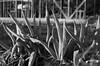 Negi (odeleapple) Tags: pentax k5 lls pentaxda 50mm negi vegetable field bw