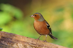 IMGP8325 Chaffinch (m), Lackford Lakes, November 2016 (bobchappell55) Tags: chaffinch lackfordlakes suffolkwildlifetrust nature naturereserve wild wildlife bird woodland