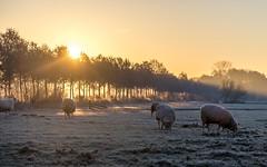 Good morning winter! (Bart Weerdenburg) Tags: winter morning sunrise sun sheep schaap utrecht uithof cold koud light