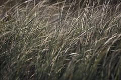 161025-1340-Grass (Sterne Slaven) Tags: massachusetts plymouth marblehead capecod marthasvineyard edgartown oakbluffs vineyardhaven salem lynn turkeyvulture seawall tide waves seaweed historic october sailboats lighthouse hightide lowtide wildturkeys offseason canoe sunset fisherman seagulls gulls nakedwoman lensbaby katamabeach lucyvincentbeach gayhead chappaquiddick lagoon bramble whalingchurch seacreature cemetery plimothplantation roosters spiderwebs oldburialhill pilgrims clamdiggers sanddunes barnstable taunton sexynude sunhalo fullmoon sterneslaven water fountain 1600s wampanoag mayflower pelt harbor chathamma seals ocean atlanticocean coastal newengland actors