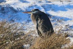 Great Blue Heron (Terrance Carr) Tags: dncb 201649 dike terry carr terrycarr 2016 december 20161206