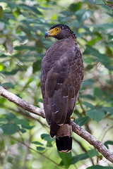 Crested Serpent Eagle (Simon Stobart) Tags: crested serpent eagle perched tree branch leaves