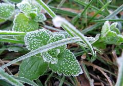 Givr (Doonia31) Tags: givre froid glace gele gel feuille vert vgtal nature hiver herbe plante