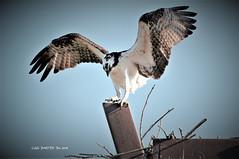 Osprey (Chuanguo Xu) Tags: birding outdoor irvine newport beach enviroment birdwatch osprey nest water pond lake fish orangecounty california