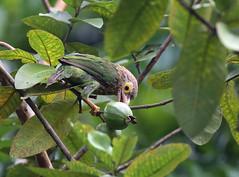 Lineated Barbet/  (tareq uddin ahmed) Tags: india birds wildlife ahmed bangladesh uddin tareq barbet kaptai lineated birdsofbangladesh   chuttagong