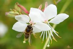 abaille butineuse d'aout sur fleur blanche (laurentmorand) Tags: flower macro nature fleur plante garden photo jardin insecte morand abaille