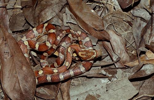 Rosy Rat Snake (Elaphe guttata) - a photo on Flickriver