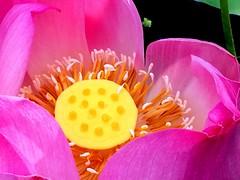 IMG_4242 (singaporeplantslover) Tags: nymphaea   lotus