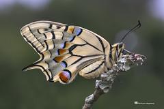 Papilio machaon (PITUSA 2) Tags: lepidoptera mariposa animalia arthropoda papilio bolboreta insecta papilionidae machaon ditrysia rhopalocera heteroneura glossata pitusa2 elsabustomagdalena