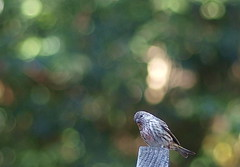 one on top of the world - Pine Siskin (Carduelis pinus) (Kazooze) Tags: bird nature garden bokeh flock pinesiskin carduelispinus twittering avianexcellence october112015