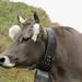 Kuh in Zermatt