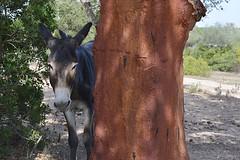 Sardegna, asinello selvatico (alessandrotamponi) Tags: sardegna natura campagna animali asino quercia gallura asinello fattoria sughero stazzo querciadasughero asinosardo animalisimpatici scorzareilsughero