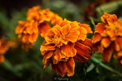 20160827-DSC_2915 (Vighnaraj Bhat) Tags: nikon d750 nikkor105mmf28gvr fixedfocal closeup macro fullframe flower beautiful dof depthoffield beyondbokeh bokeh bokehlicious theunforgettablepictures