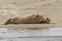 sweet dreams (JnHkstr) Tags: fotoclub gespot ameland zeehond robbenbank seal wrakzand wl35 nes waddenzee