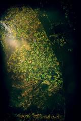 Sunlit-Oak- (Harned-Pix) Tags: trees sunlight filteredsunlight blackandwhite bw artistic yosemitenationalpark yosemite park nationalpark scenic scenery glow hazemist oaks