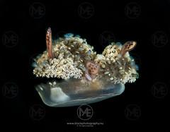 Upside-down jellyfish moving through the water (Arno Enzerink) Tags: bestof aquatic cassiopeiaandromeda dive diving down jellyfish life marine marinelife ocean scuba sea underwater upside upsidedown water camiguinisland philippines ph