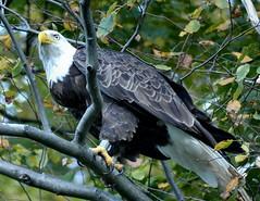Bald Eagle on Peas Eddy Rd, Hancock, NY (Eric C. Reuter) Tags: ny catskills hancock nature wildlife birds baldeagle route268 somersetlake october 2016 100616