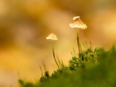 mycena lutropallens (marianna_a.) Tags: mycenalutropallens fungi mushroom tiny gilled delicate fairy forest moss yellow white cap bokeh hbw canada mariannaarmata
