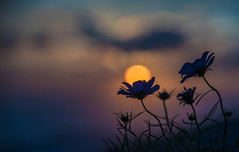 DSC_1275 (megumi.ram) Tags: japan nikon cosmos nature flower sunset       sky