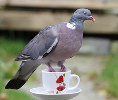 pigeon on tea cup (1) (Simon Dell Photography) Tags: birds nature photography wildlife sheffield uk england 2016 old new pic photo xxx pigeon tea cup cute awsome sick
