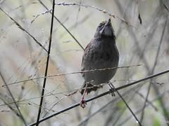 White-Throated Sparrow - Chicago Botanic Garden (plunkettb) Tags: bird sparrow whitethroatedsparrow chicagobotanicgarden fpdcc