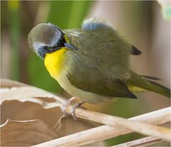 Common Yellow Throat ( Male ) 2 (billkominsky ) Tags: naturethroughthelens