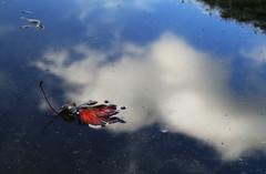 Fallen to the sky (Robyn Hooz) Tags: clouds nuvola foglia caduta albero ottobre cielo sky martellago pool pioggia pozzanghera rain