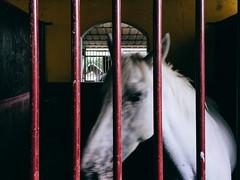 APC_0106.jpg (Exit Imago) Tags: white bars italy modena emiliaromagna horse stable mammal ~colour