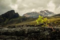 Bonsai - Iceland Style (ingoal18) Tags: iceland island lauga laugavegur laugavegurinn porsmork emstrur hiking wandern bonsai baum green grn d7100 nikkor nikon 18140mm