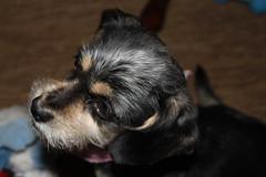 IMG_3275 (fschaub3) Tags: puppies puppy pets dogs yorkie shorkie pomchi