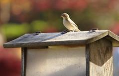 Hungry Bird, Cantigny Park. 3 (EOS) (Mega-Magpie) Tags: canon eos 60d nature wildlife bird hungry birdhouse outdoors cantigny park wheaton dupage il illinois usa america