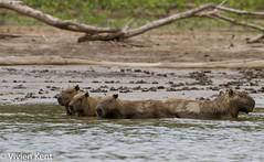 Capybara (tau247) Tags: amazonianrainforest capybara hydrochoerushydrochaeris manunationalpark peru southamerica bathing group mammal nature rodent wildlife