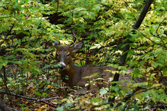 LaLaLand (jmishefske) Tags: wisconsin october antler wildlife milwaukee halescorners rack d500 park whitnall whitetail 2016 buck deer nikon