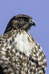 Hawk Portrait (lennycarl08) Tags: redtailedhawk hawk raptor birdofprey birds california northerncalifornia