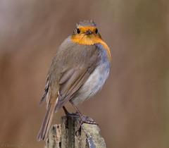 Oh..oh, him again... (Glenn van Windt) Tags: erithacusrubecula aves bird vogel songbird robin roodborst nature natuur canonef400mmf56lusm