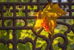 (donna leitch) Tags: rust fall autumn leaf season gate fence iron dof donnaleitch foliage