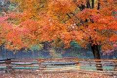 Connecticut Color - Rain (-SOLO--) Tags: autumnleaves yourbestshot2016 6d 2016 autumn canon connecticut eos fence leaves maple orange rain