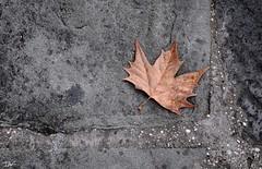 (Pau Pumarola) Tags: fulla hoja feuille leaf blatt tardor otoo automne autumn herbst minimalisme minimalismo minimalism minimalismus